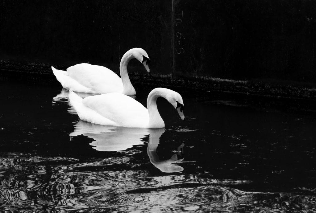 Una coppia di cigni bianchi nuotano nelle acque del lago