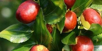 Alaca'da hünnap meyvesi yetiştirilecek