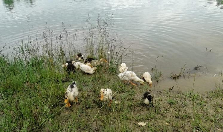 Yeşil Göle ördek yavruları bırakıldı