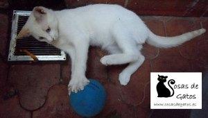 Kato, nuestro gato jugando de cachorro con una pelotita | Foto: www.cosasdegatos.es