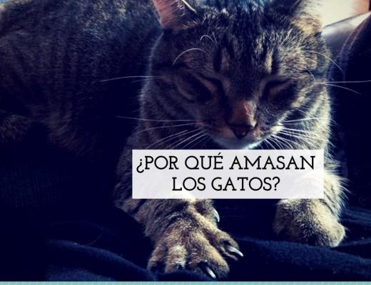 porque amasan gatos