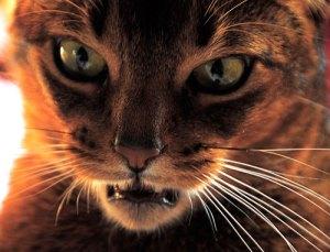 Respuesta flehmen ante un olor nuevo, el gato usa el órgano de Jacobson | Foto: flickr.com/photos/8279867@N08
