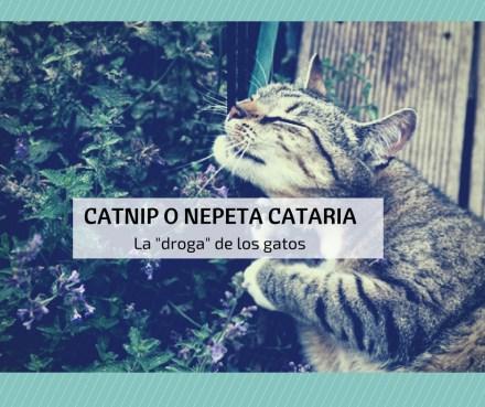 catnip nepeta cataria droga-gatos
