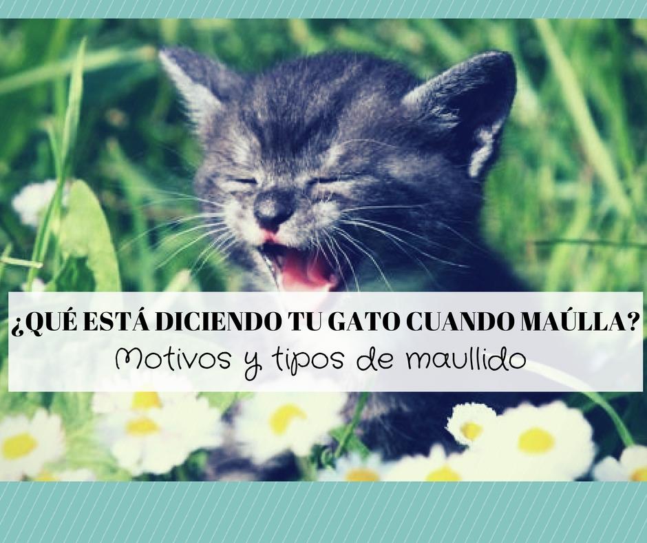 que dice gato maulla mucho porque