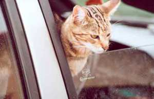 golpe-calor-gato-coche