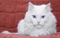 No todos los gatos blancos con ojos azules son sordos