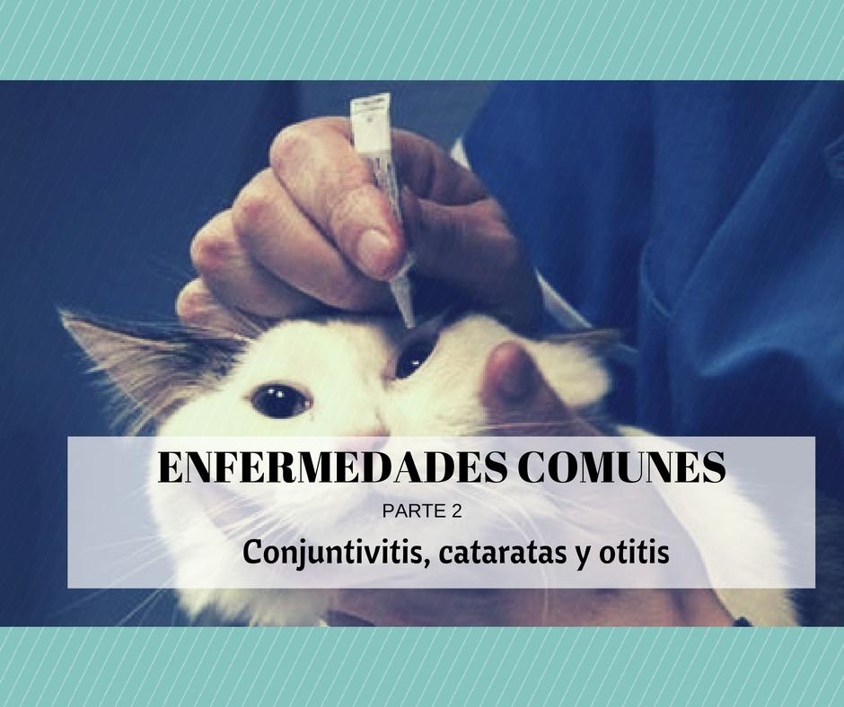 enfermedades comunes gatos otitis cataratas conjuntivitis
