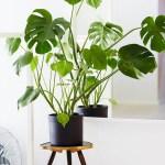 costilla de adan planta tóxica gato | Foto: estiloescandinavo.com