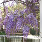 flor de pluma planta tóxica gato | Foto: panoramio