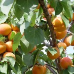 albaricoquero planta tóxica gato | Foto: Fruites Nuria