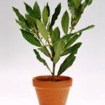 laurel planta tóxica gato