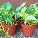 potos taxus baccata planta tóxica gato | Foto: pinterest