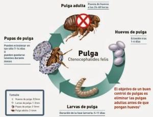 vida de una pulga en gatos