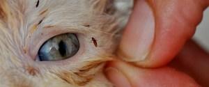las pulgas son parásitos externos visibles y molestos para los gatos