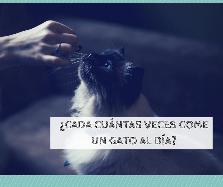 Cuántas veces come un gato al día | Foto: Pexels