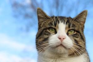 Razones y ventajas de adoptar un gato adulto | Foto: pixabay