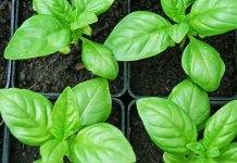 consejos para cultivar albahaca