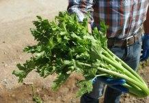 cultivo de apio (1)