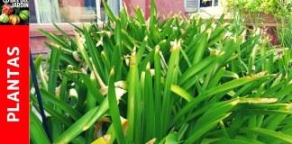 hojas con puntas secas