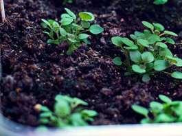 cultivo de oregano