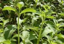 guia de cultivo de stevia