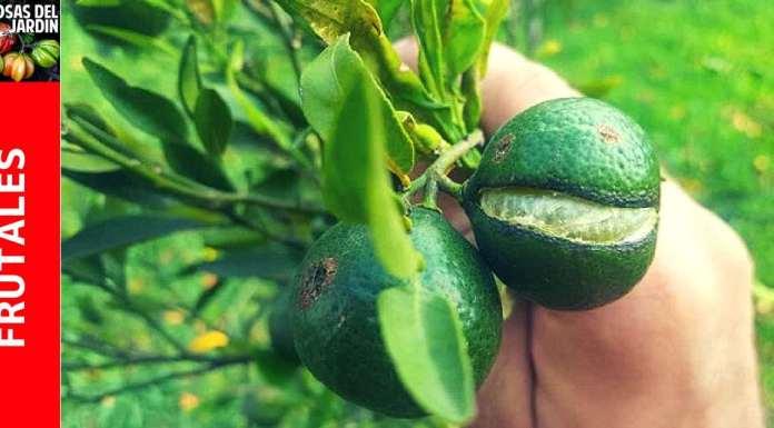 por que se rajan los citricos