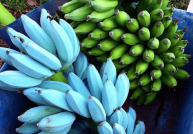 Banana: Arriva in Italia la Banana Blu al gusto di Gelato e non ingrassa