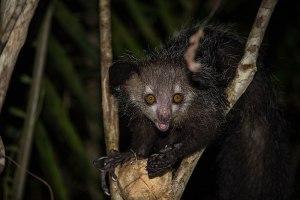 Die hässlichsten Tiere der Welt - Das Fingertier