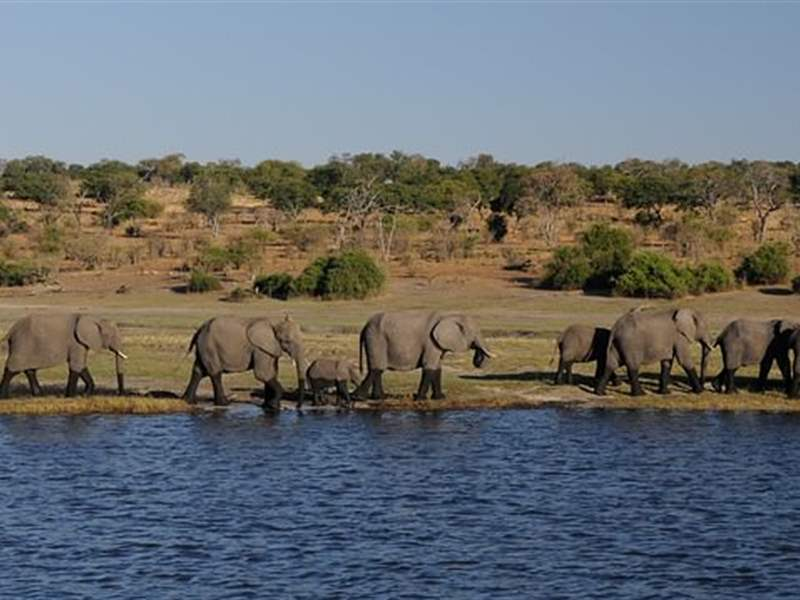 Herd of elephants in Chobe national park, Botswana.