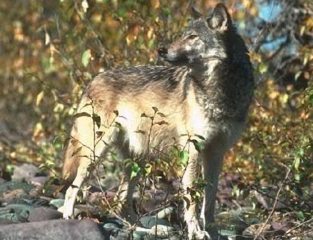http://www.cosmosmith.com/european_gray_wolves.asp