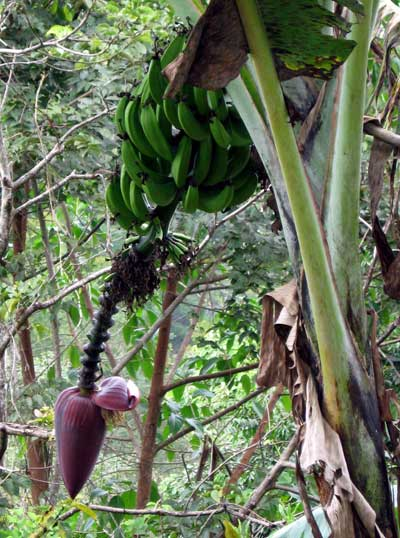 Costa Rican Bananas