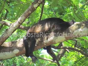 Monkeys at Barco Quebrado Beach Costa Rica