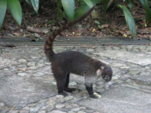Raccoons of Costa Rica