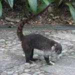 Raccoons of Costa Rica