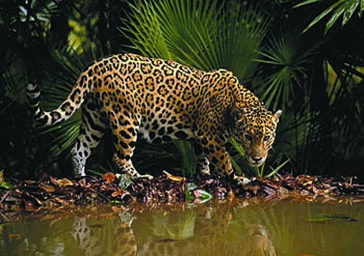 Range: The Jaguar Is Native To The Western Hemisphere, Where It Lives In  The Tropical Rainforests Of Central And South America.