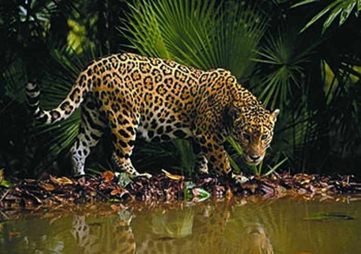 jaguars of costa rica. Black Bedroom Furniture Sets. Home Design Ideas