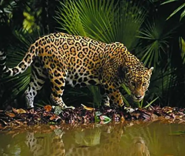 Range The Jaguar Is Native To The Western Hemisphere Where It Lives In The Tropical Rainforests Of Central And South America