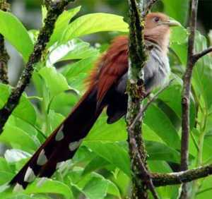 squirrel-cuckoo-Costa Rica