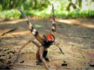 Brazilian Wandering Spider The Most Venomous Spider on Earth