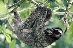 Sloth-having-its-baby-in-a-tropical-forest