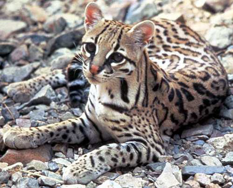 ocelot-on-rock