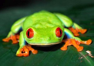 red-eyed-tree-frog