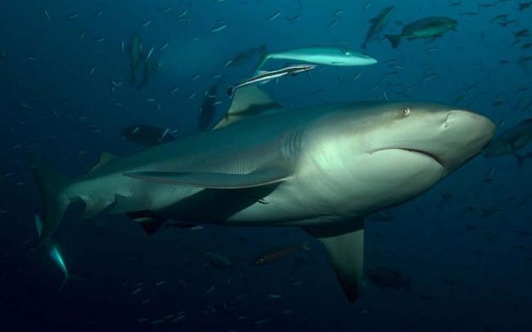 Bull-Shark-at-bat-iceland-C