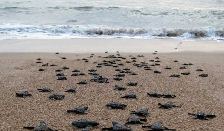 baby-turtles-playa