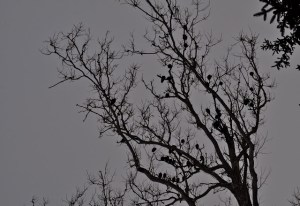 sycamore tree dying