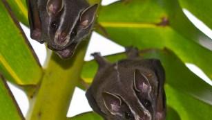 costa rica bats 1