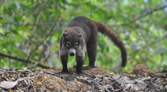 Coatimundi Costa Rica