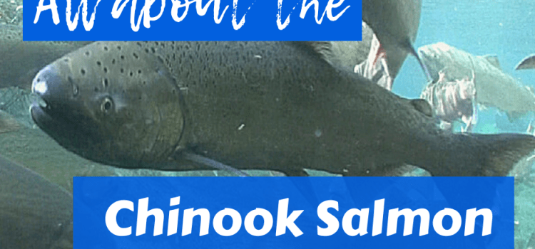 All About Chinook Salmon