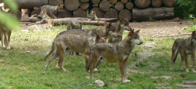 A la découverte des loups