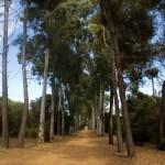 Forêt Pins et Eucalyptus, F. Fillon©